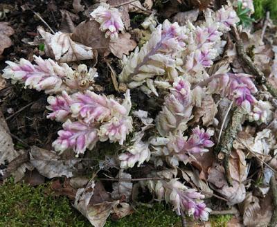 Lathrée écailleuse (Lathraea squamaria)