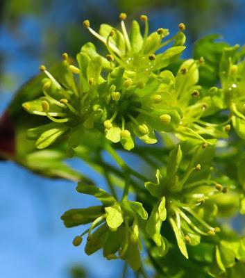 Érable plane (Acer platanoides)