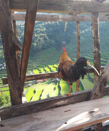 Un coq qui profite du coucher de soleil sur les rizières de Batad !