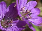 Géranium (Geranium molle)