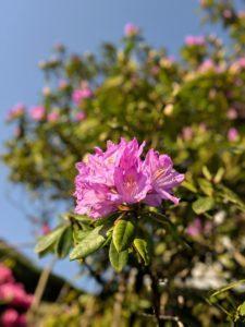 Et l'ancien Rhododendrons
