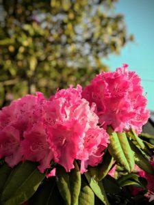 Les nouveaux Rhododendrons