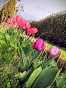 Mi-avril, les tulipes se sont installées