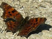 Robert diable (Polygonia c-album)