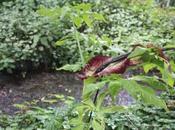 Dracunculus vulgaris, dragon