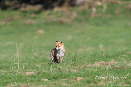 Dans un pâturage boisé des crêtes du Val-de-Travers, le renard roux attend la fin de journée pour quitter le couvert forestier et se mettre en chasse.