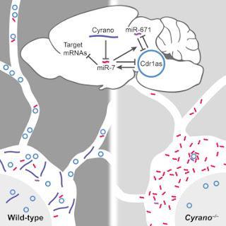 #Cell #ARNnoncodant #régulationgénique #cerveau Un Réseau d'ARNs Non Codants Régulateurs Exercent leur Action dans le Cerveau chez les Mammifères
