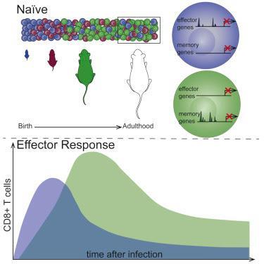 #Cell #infections #lymphocytesT #destincellulaire Les Origines Développementales Président au Destin Cellulaire des Lymphocytes T CD8+ au cours des Infections