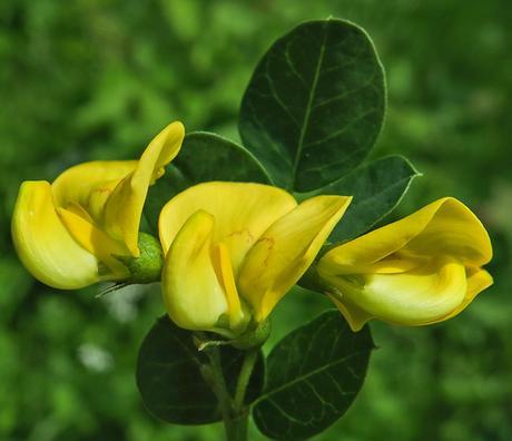 Baguenaudier commun (Colutea arborescens)