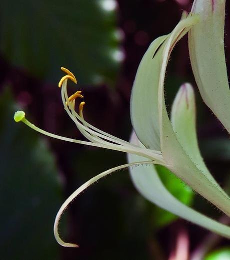 Chèvrefeuille des bois (Lonicera periclymenum)