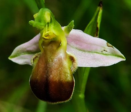 Ophrys abeille bicolore (Ophrys apifera var. bicolor)