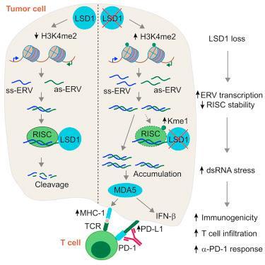 #Cell #exclusif #immunitéanti-tumorale #pointdecontrôle #LSD1 #L'ablation de LSD1 stimule l'immunité anti-tumorale et permet le blocage du point de contrôle immunitaire