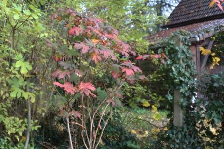 23 hydrangea quercifolia veneux 12 nov 2017 011.jpg