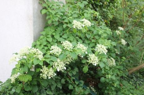 8 hydrangea petiolaris veneux 21 mai 2018 009 (9).jpg
