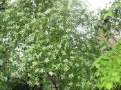 Hydrangea juin