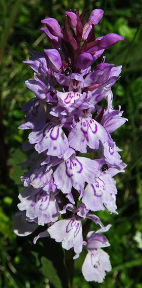 Orchis tacheté (Dactylorhiza maculata)