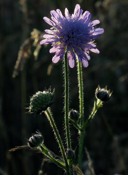 Knautie des champs (Knautia arvensis)