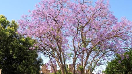 Un jacaranda : arbre magnifique, très répandu au Portugal
