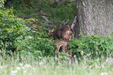 Chevrette et ses faons en lisière de forêt