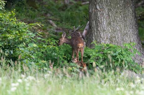 C'est en lisière de forêt que la chevrette a rejoint ses deux faons pour un moment de complicité. Les jeunes chevreuils profitent de la visite de leur mère pour têter avant de reprendre leurs jeux.