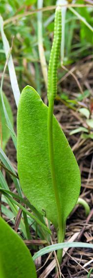 Ophioglosse commune (Ophioglossum vulgatum)