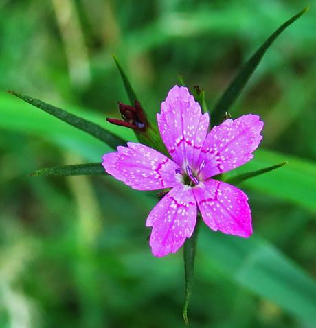 Œillet velu (Dianthus armeria)