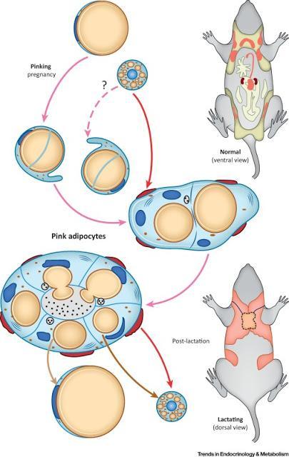 #trendsinendocrinologyandmetabolism #adipocytes #grossesse #lactation Adipocytes Roses