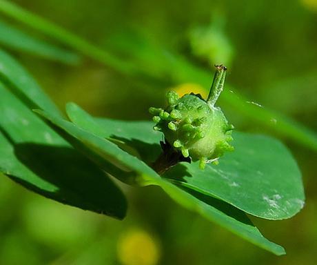 Euphorbe douce (Euphorbia dulcis)