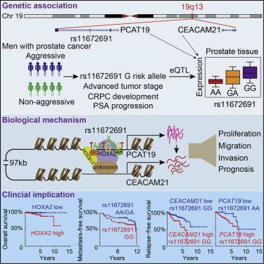 #cell #cancerdelaprostate #19q13 Biologie et Implications Cliniques du Locus de Susceptibilité au Cancer de la Prostate Agressif 19q13