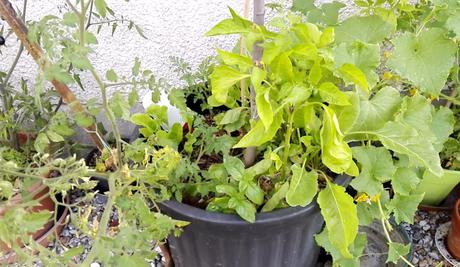 Evolution des cultures sur la terrasse (vidéo)