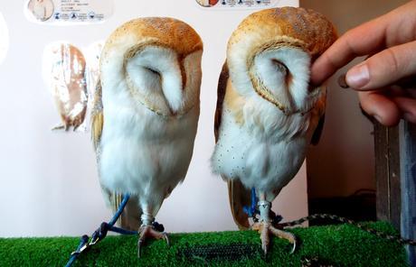 Les cafés à Thème de Tokyo : Owl café
