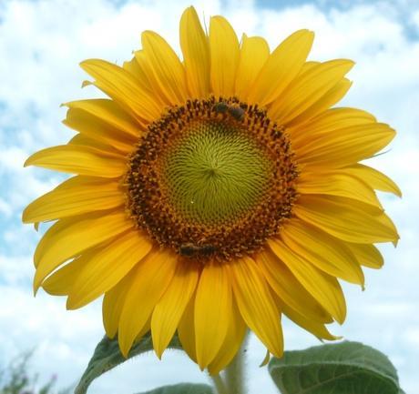 jardin,plantes,fleurs,loisirs,tournesols main verte