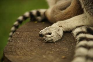 Une journée à Thoiry, épisode 2, un moment privilégié au milieu des lémuriens