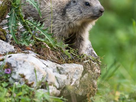 Jeunes marmottes du Jura neuchâtelois