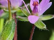 Erodium feuilles cigüe (Erodium cicutarium)