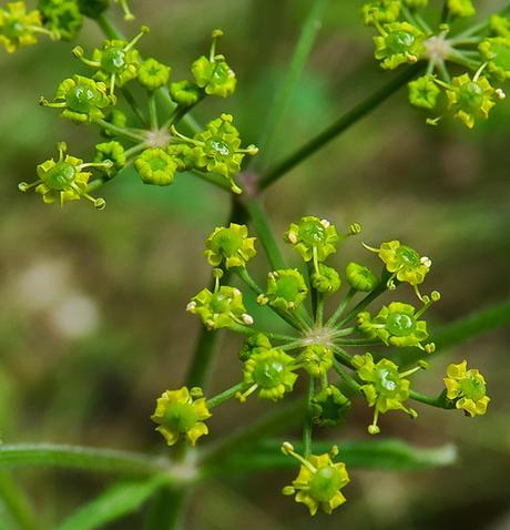 Panais brûlant (Pastinaca sativa subsp. urens)