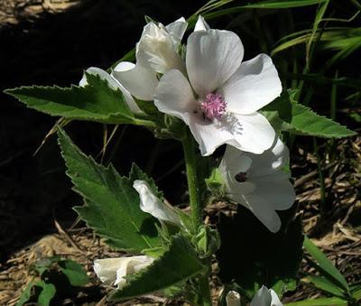 Guimauve officinale (Althaea officinalis)