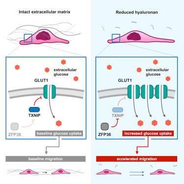 #Cell #matriceextracellulaire #métabolismeduglucose #GLUT1 Le remodelage de la matrice extracellulaire soumet le métabolisme du glucose à régulation par déstabilisation de TXNIP