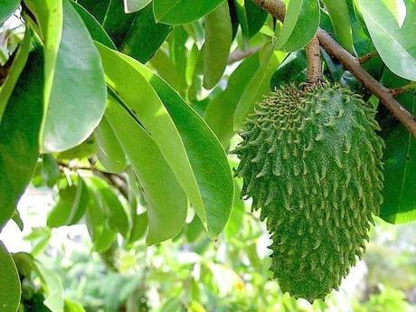 Le corossol, fruit santé par excellence!