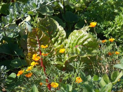 Après l'arrêt de la canicule, les légumes reprennent de la vigueur