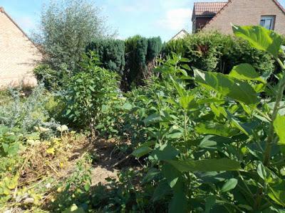 On continue la récolte des pommes de terre sous paillage