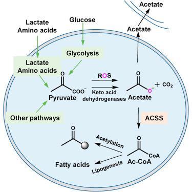 #Cell #mitochondrie #acétate #glucose Production d'Acétate à partir du Glucose et Couplage au Métabolisme Mitochondrial chez les Mammifères