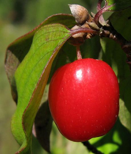 Goûter les baies et fruits sauvages