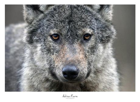 [Podcast #53] Rencontrer le loup avec Adrien Favre
