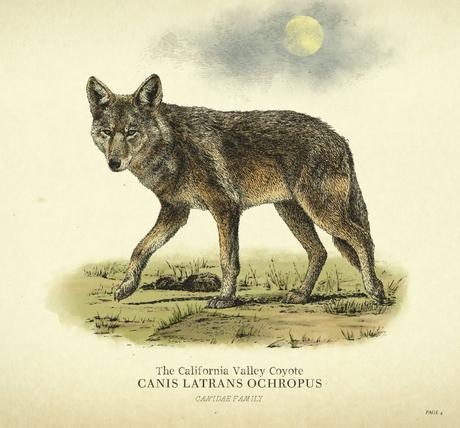 Guide Les Animaux dans Red Dead Redemption Chasse et pêche coyote