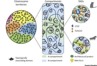 #trendsingenetics #chromatine #expressiongénique #développementembryonnaire La Naissance du Génome en 3D au cours du Développement Embryonnaire Précoce