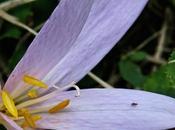 Colchique d'automne (Colchicum autumnale)