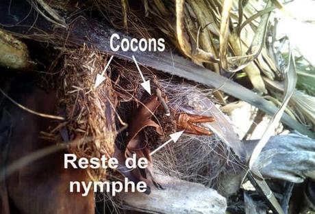 indices papillon du palmier -paysandisia - 1