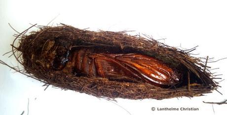 cocon papillon du palmier -Paysandisia_archon