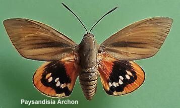 paysandisia archon le papillon du palmier